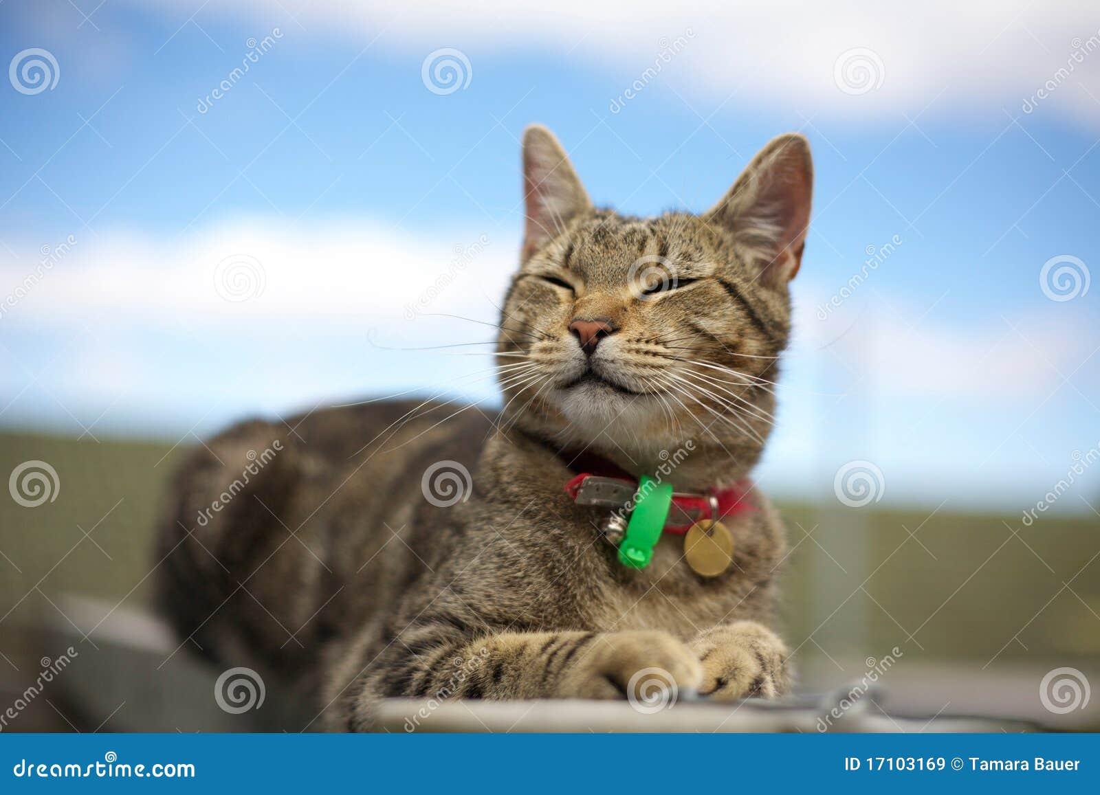 Smiling tabby cat