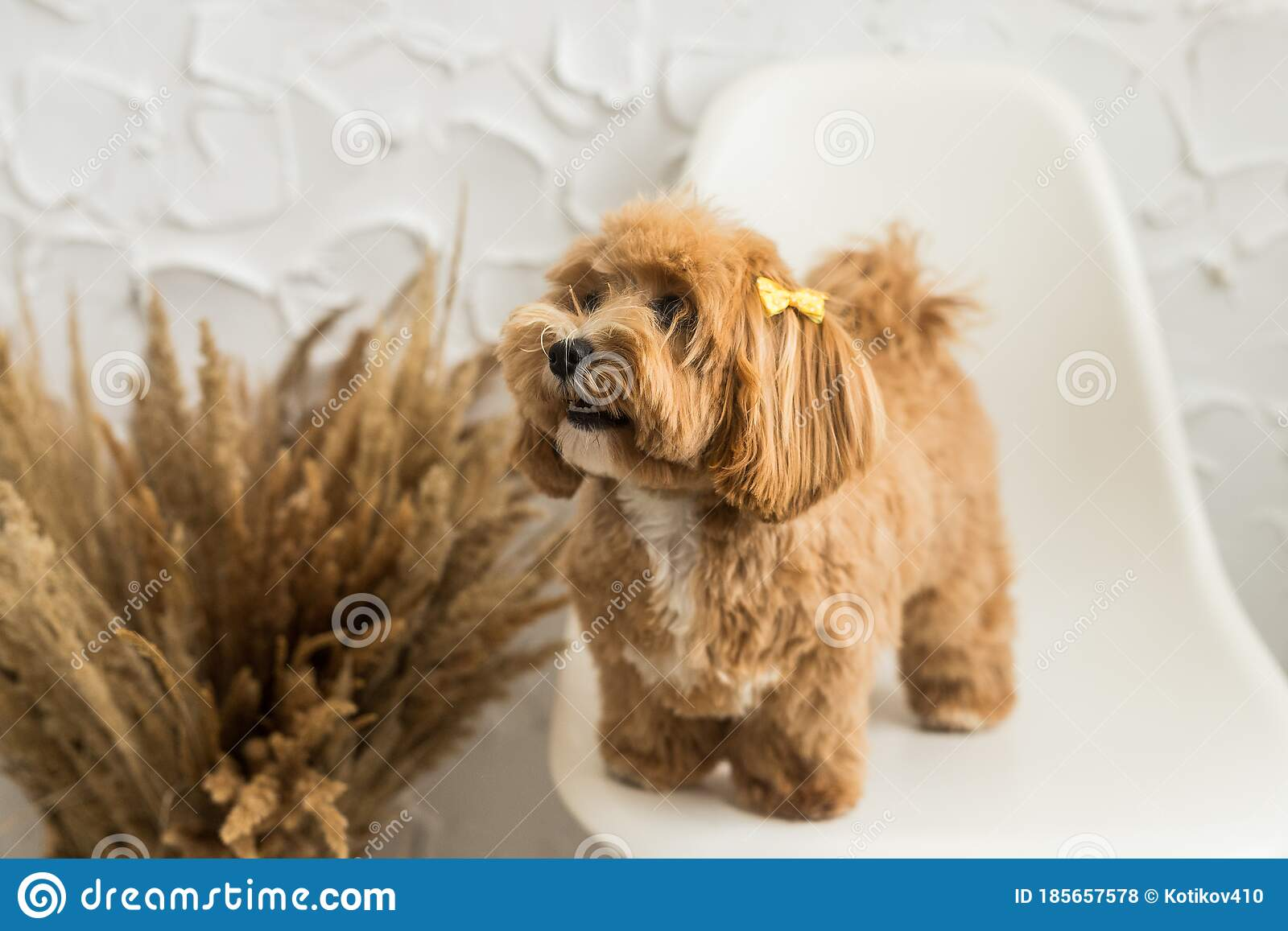Smiling Toy Poodle Stand On White Chair And Show Tongue In Camera Stock Photo Image Of Funny Sitting 185657578