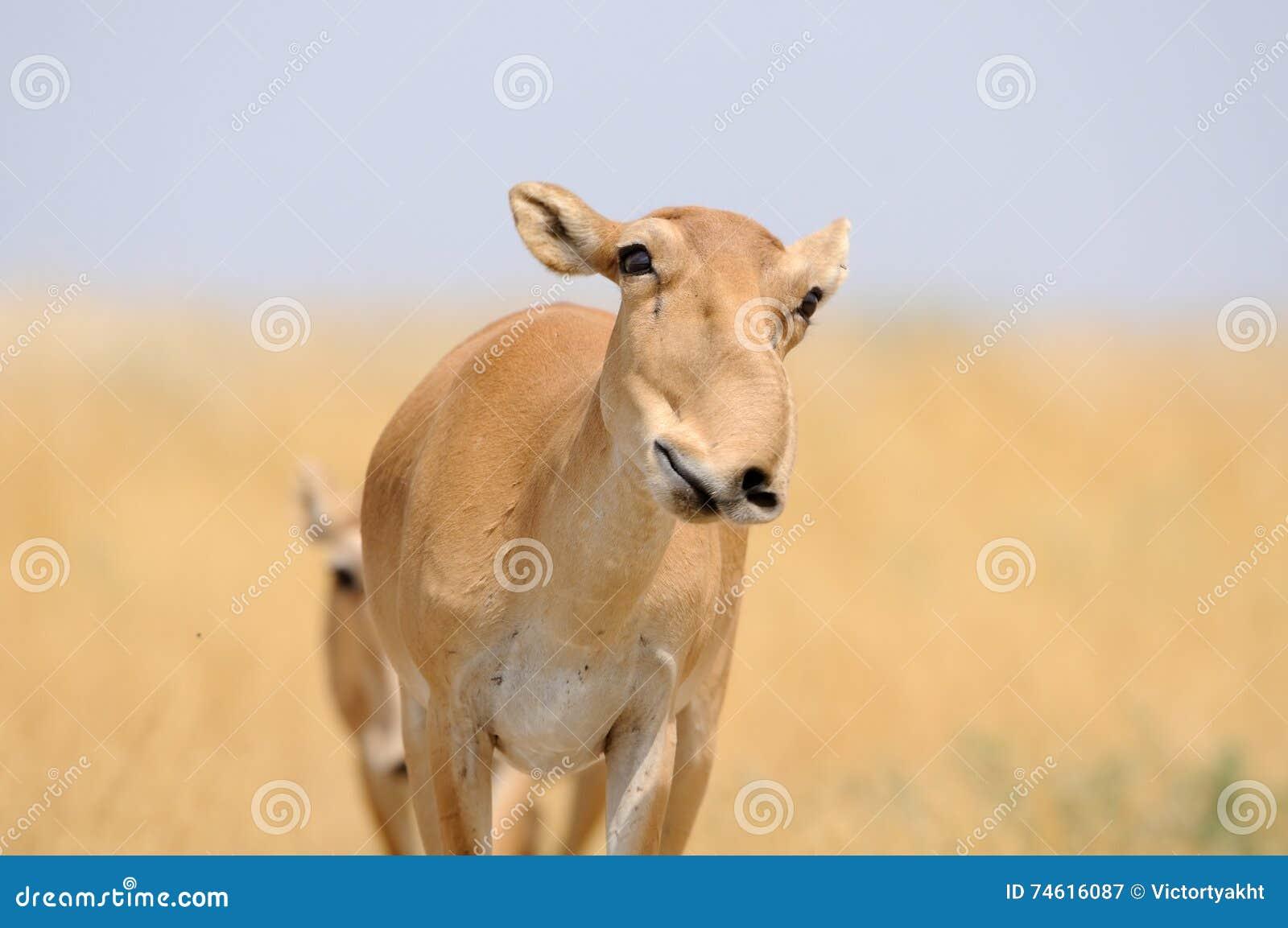 Smiling wild female Saiga antelope in Kalmykia steppe