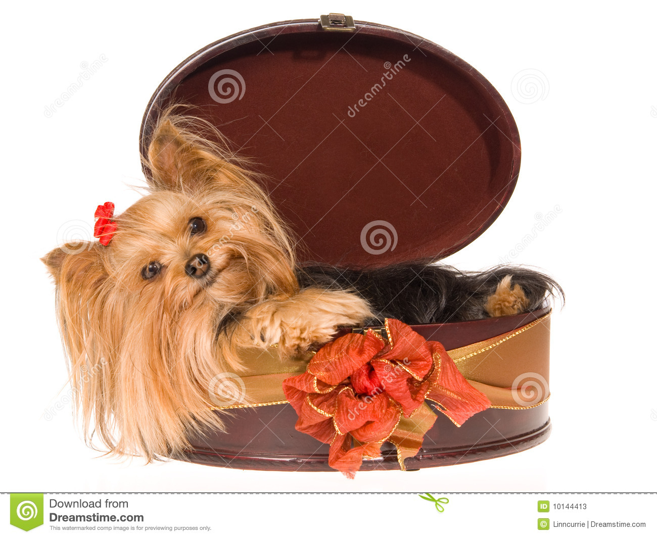 Smiling Yorkie Pup Lying Inside Round Gift Box Stock ...