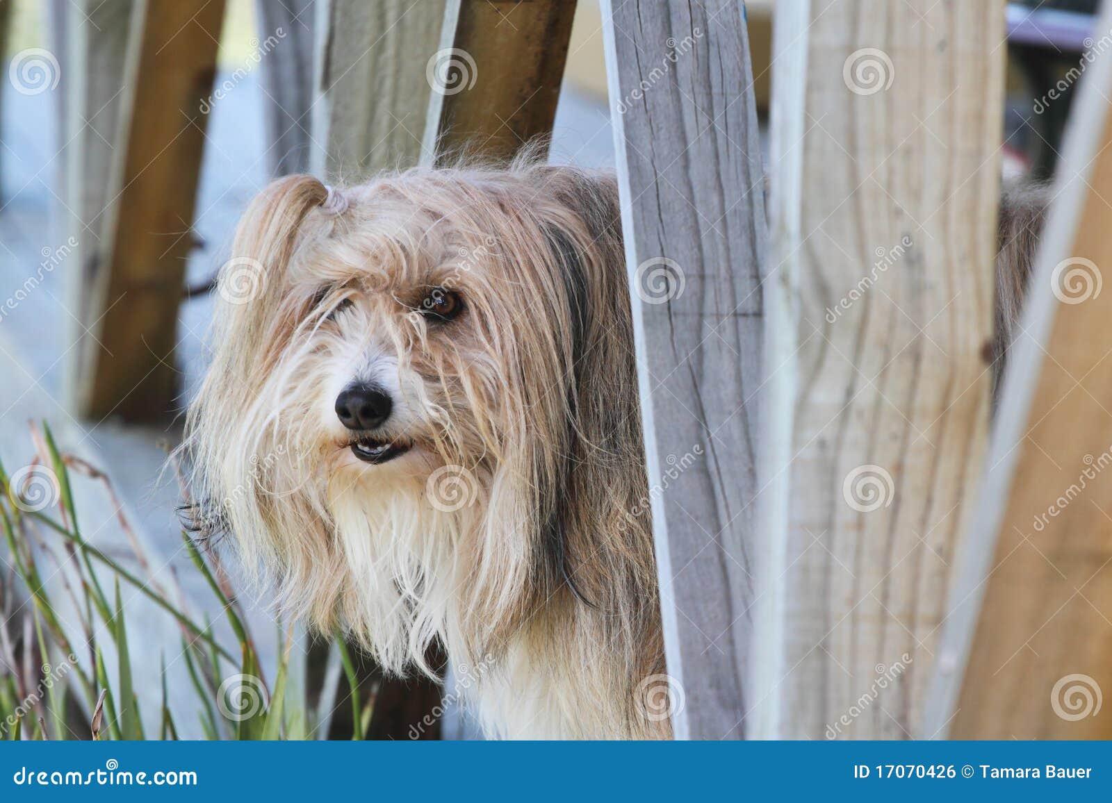 Smithfield Cattle Dog For Sale