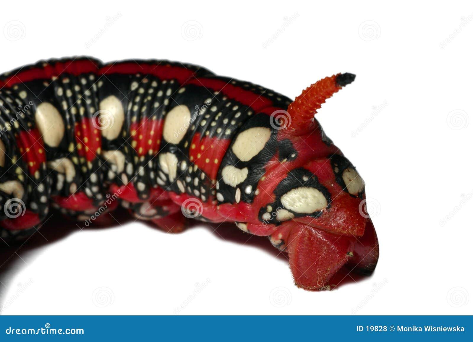 Smok gąsienicowa twarzy czerwony