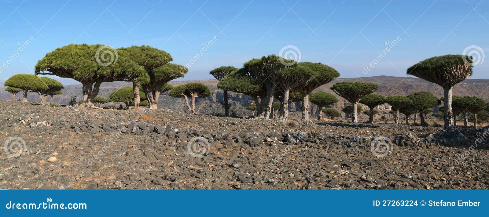 Smok krwi drzewo Socotra wyspa na Jemen