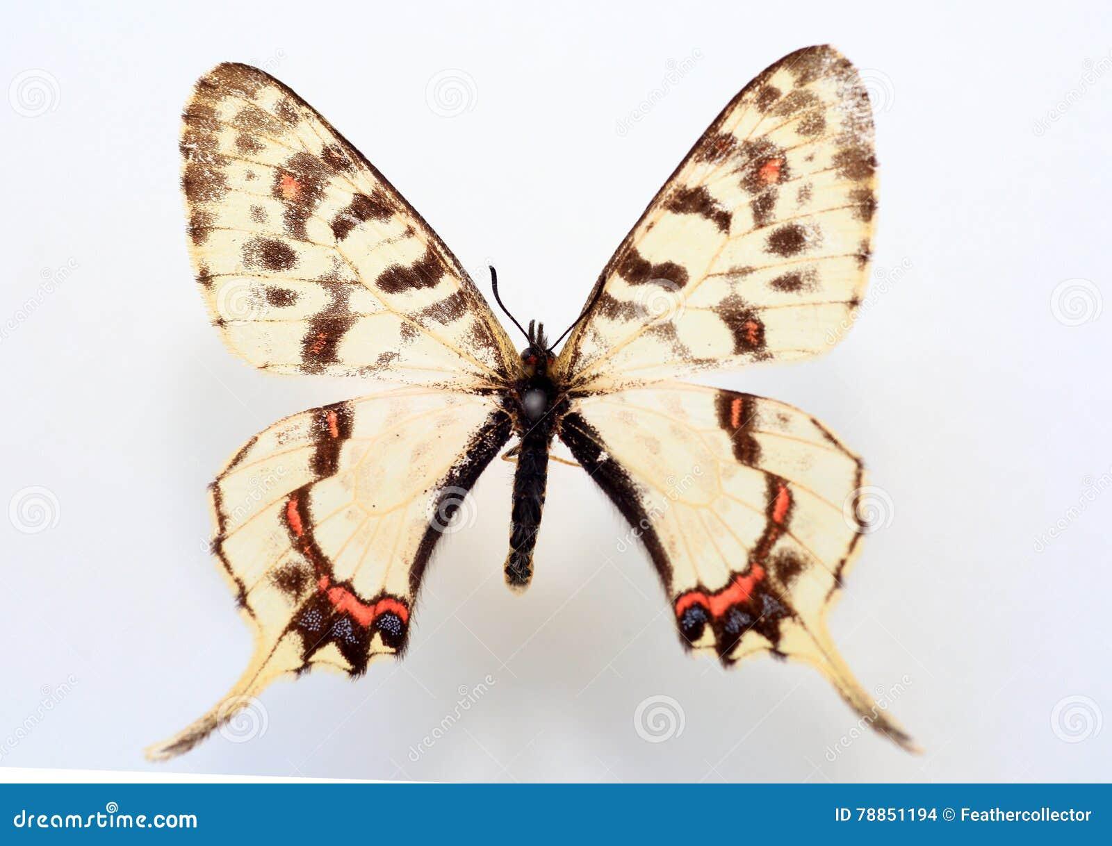 Smoka swallowtail