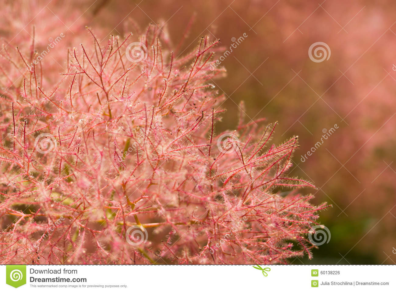 Smoke Tree With Pink Fluffy Flowers And Red Twigs Close Up Stock