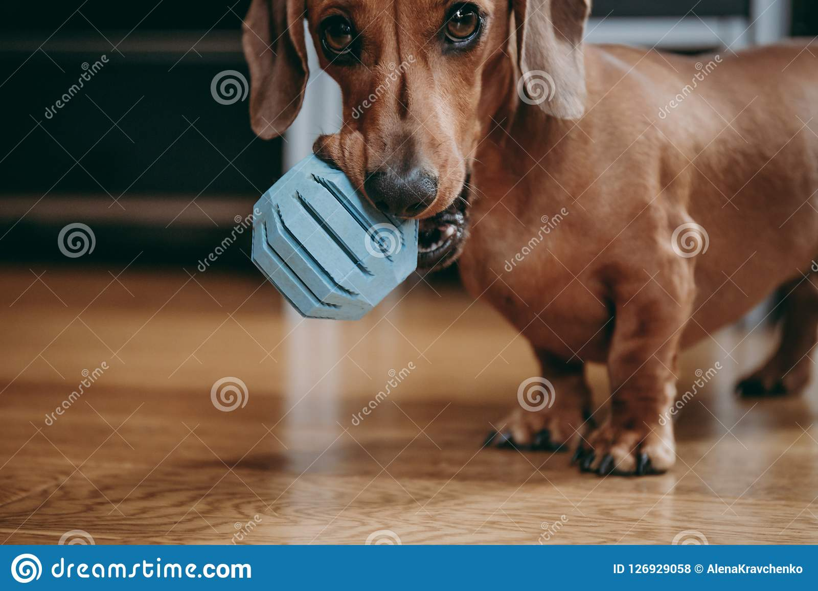 Smooth Brown Miniature Dachshund Puppy Holding Blue Toy Ball In Stock Photo Image Of Begging Happiness 126929058