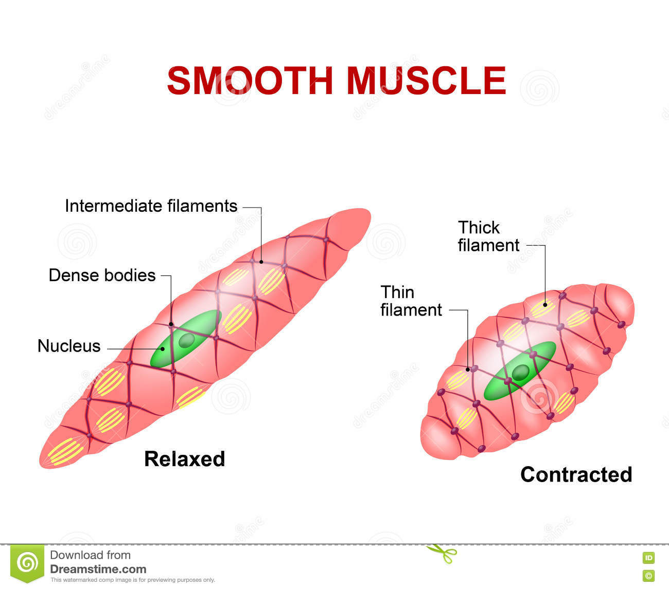 Smooth Muscle Tissue Cartoon Vector