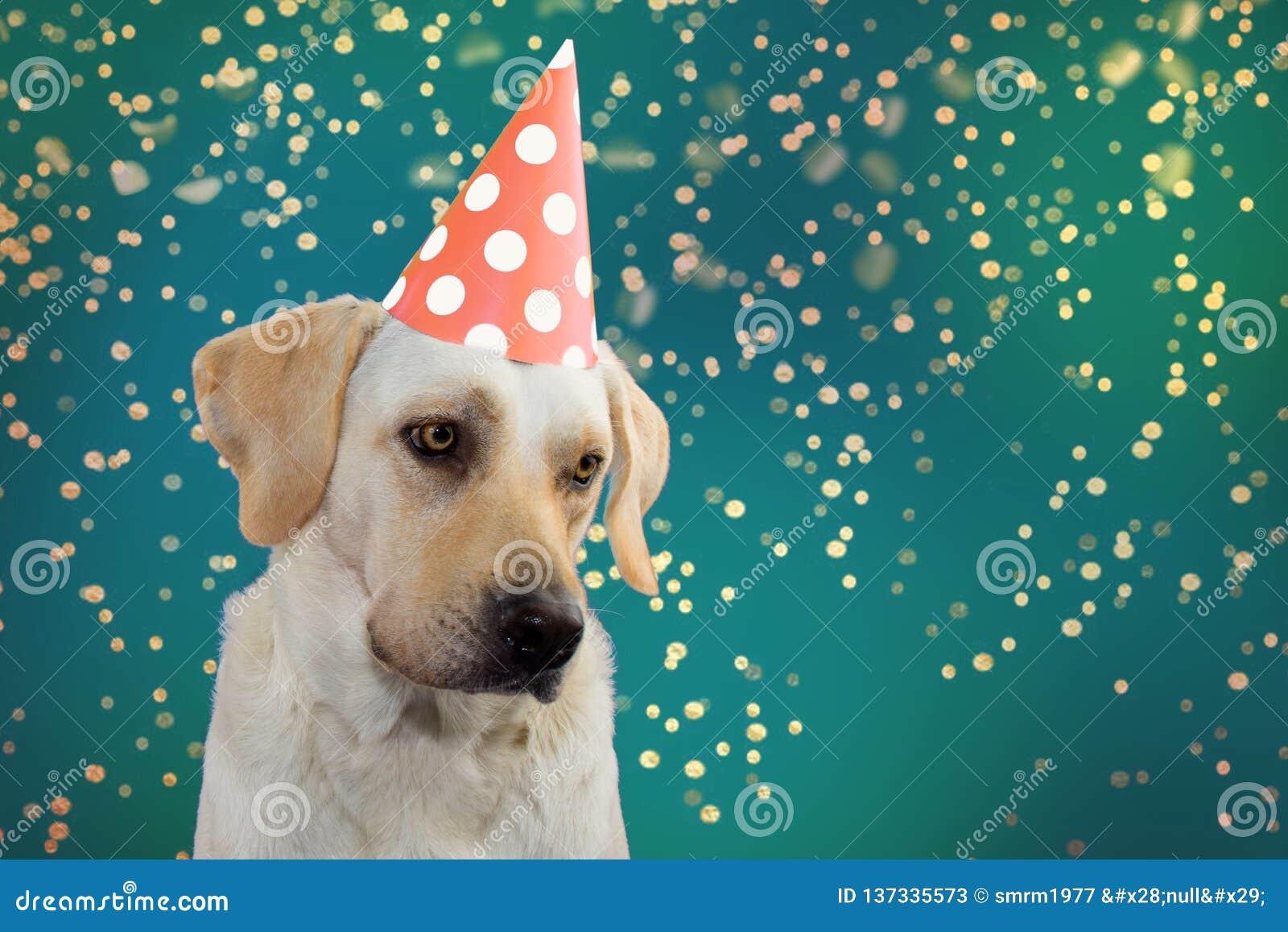 SMUTNY PSI urodziny, ostatki LUB nowy rok, LABRADOR JEST UBRANYM ŁOSOSIOWEGO BARWIONEGO polki kropki kapeluszu przyjęcia ODOSOBNI