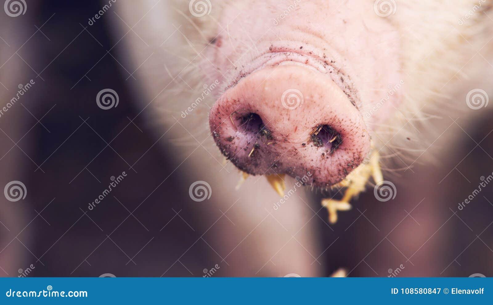 Smutsigt äta för svinnäsa close upp