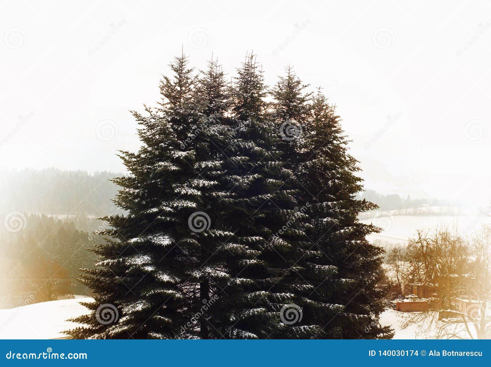 Snö-täckt höjd sörjer träd i en vinterdag Vinterlandskapet med sörjer trädet och snö