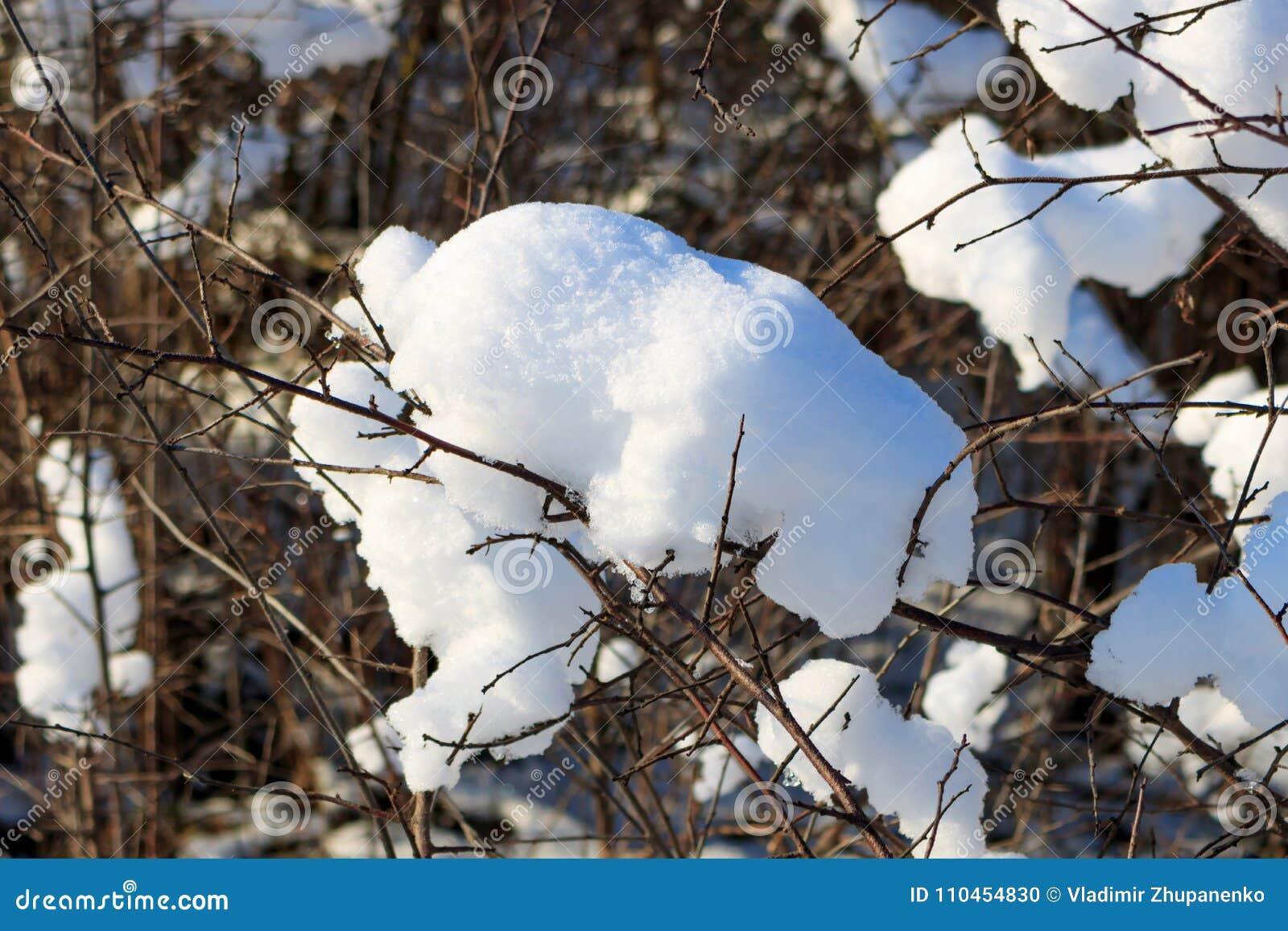 Snö-täckte filialer av busken på en solig vinterdag