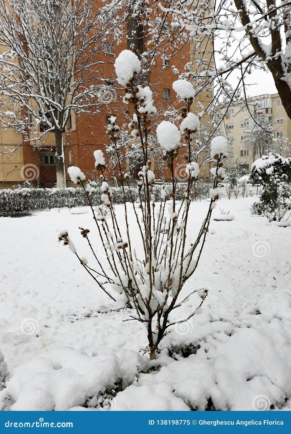 Snöig buske med snöblommor