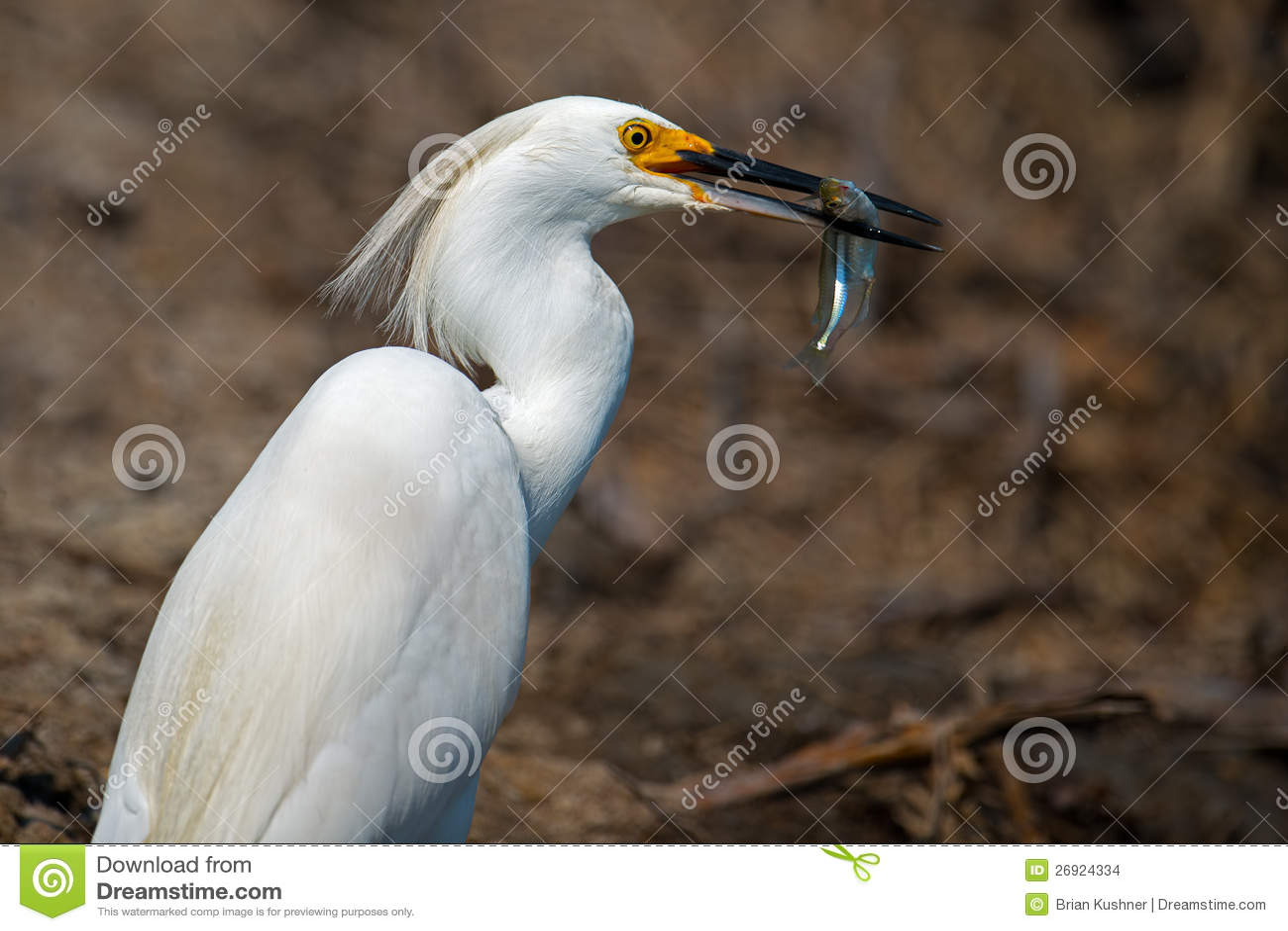 Snöig Egret med fisken