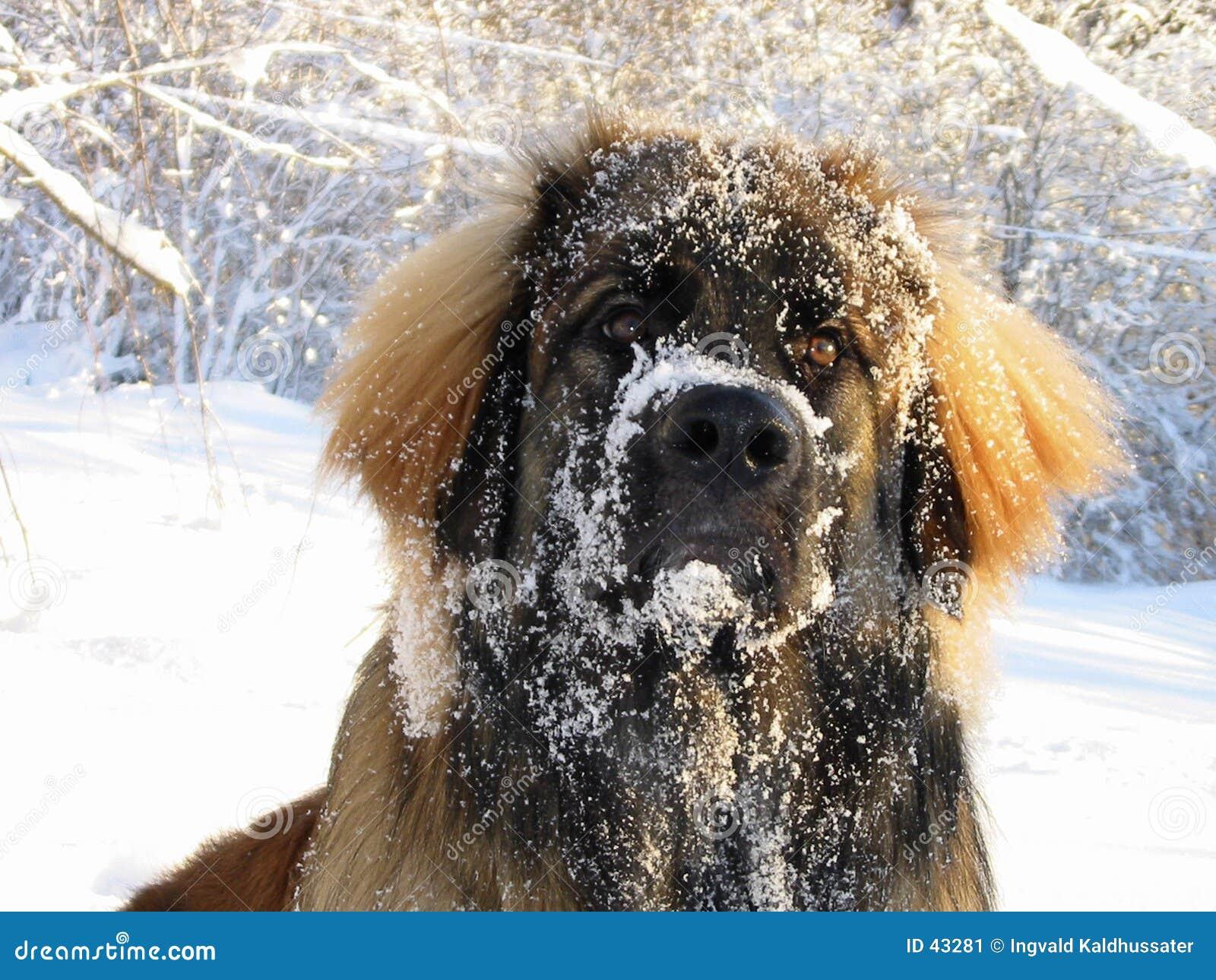 Snöig leo