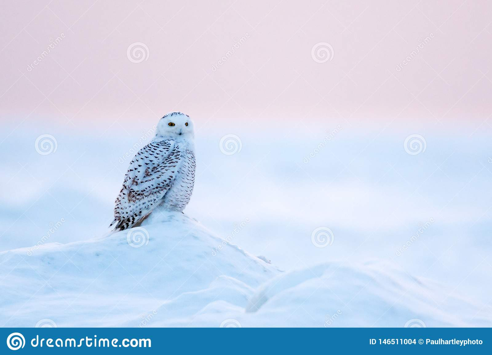 Snöig Owl Bubo scandiacus i vinter