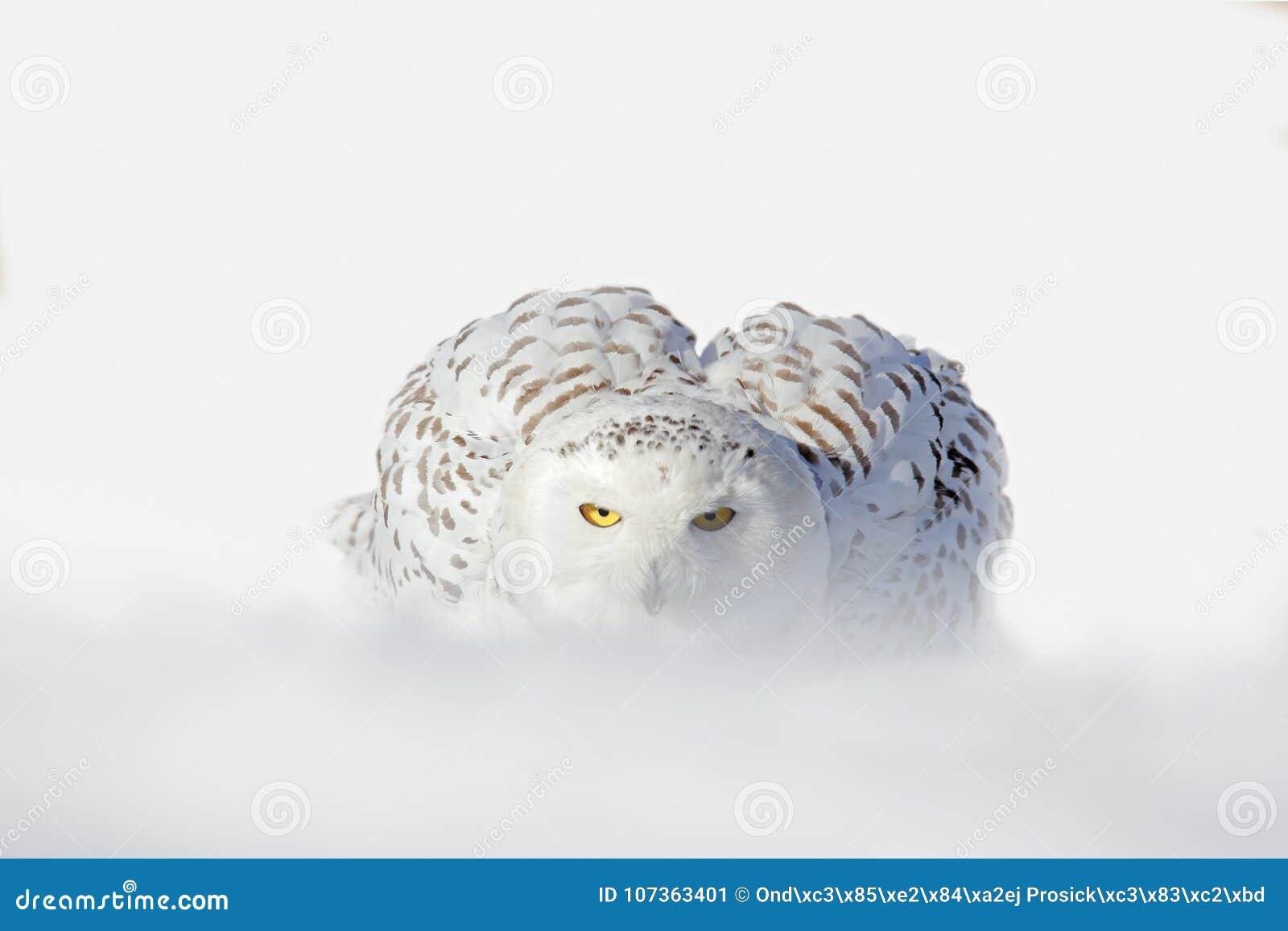 Snöig uggla, Nyctea scandiaca, vit sällsynt fågel med gula ögon som sitter på snön under den kalla vintern, snöig storm med snöfl