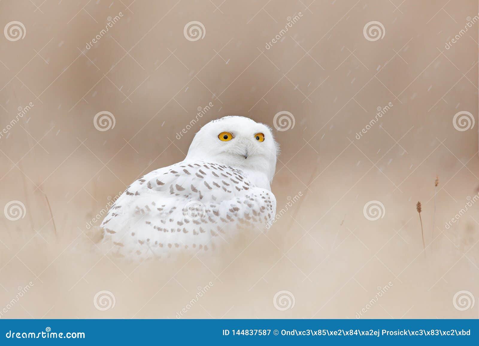 Snöig uggla som döljas i ängen, fågel med gula ögon som sitter i gräs Plats med klar förgrund och bakgrund, i naturen