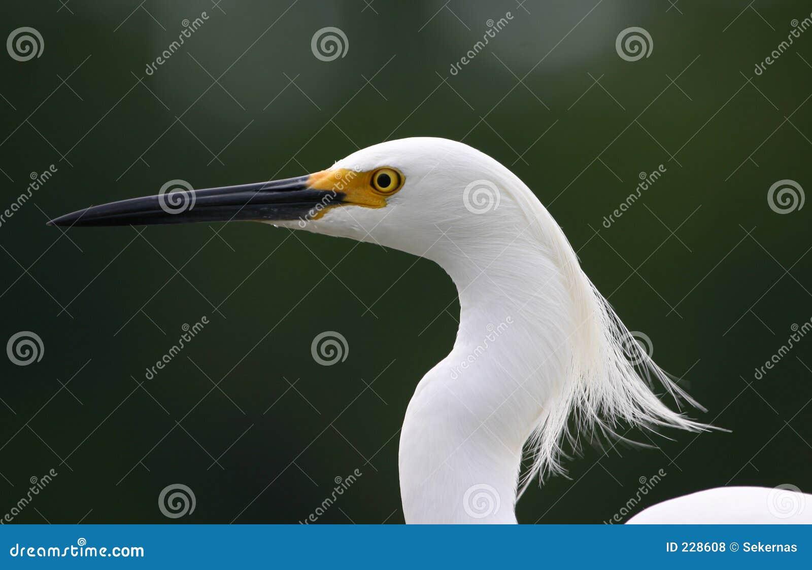 Snöig wind för egret