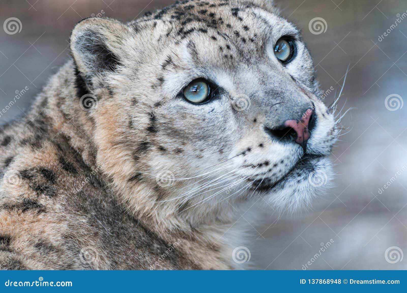 Snöleopard, snöleopard, rovdjur, lös katt, berg, snö, djurliv