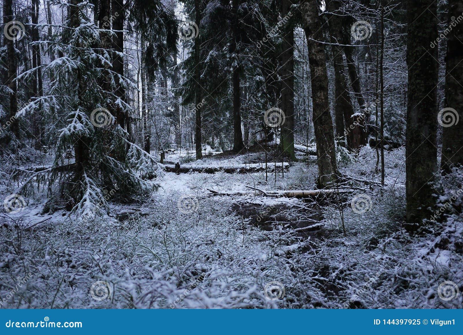 Snönedgångar i skogen med träd Intensiv snö täcker ögonblickligen yttersidan av skog- och trädfilialerna med ett lager av sno
