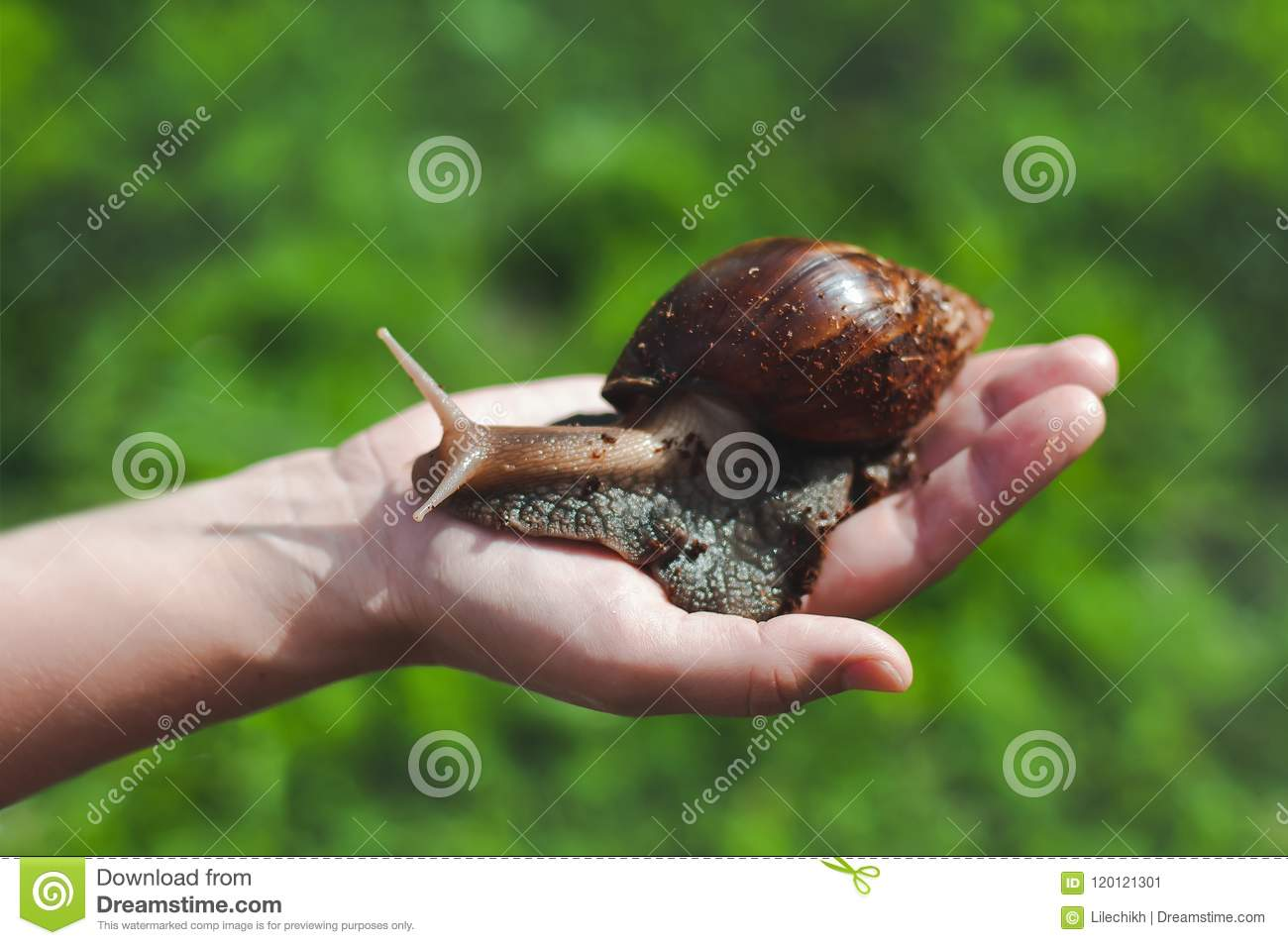 The snail Achatina on the person`s hand on a background of green grass .