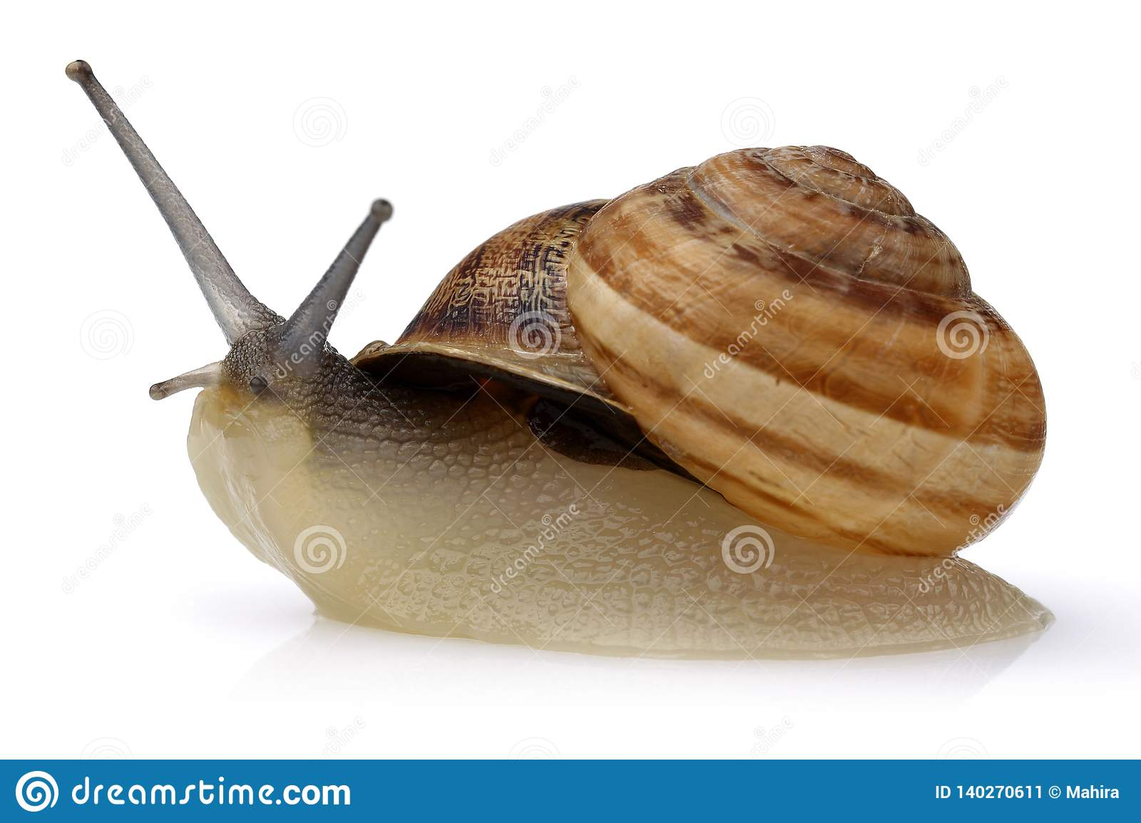 Snail crawling isolated on white
