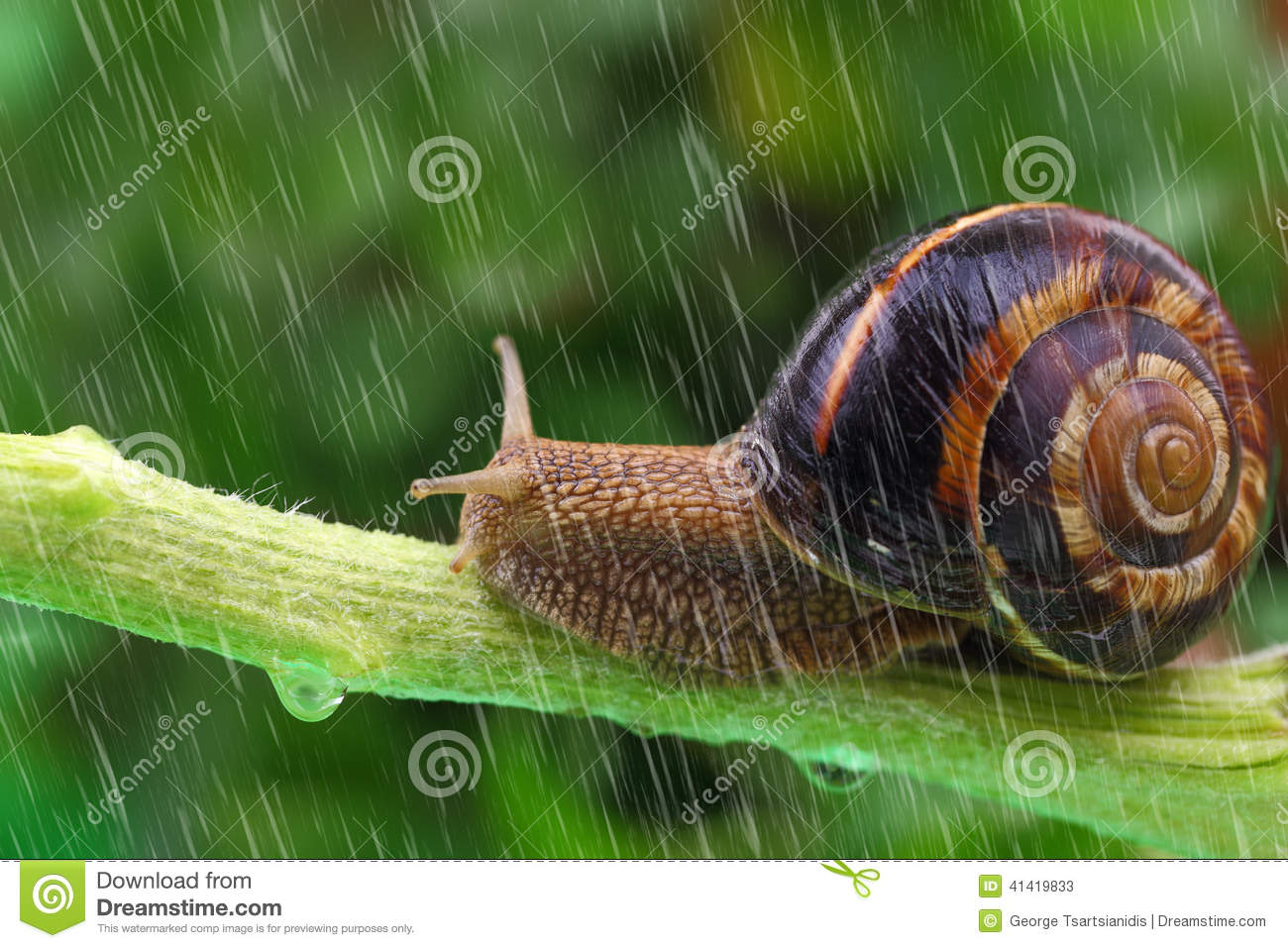 Snail crawling on plant with rain