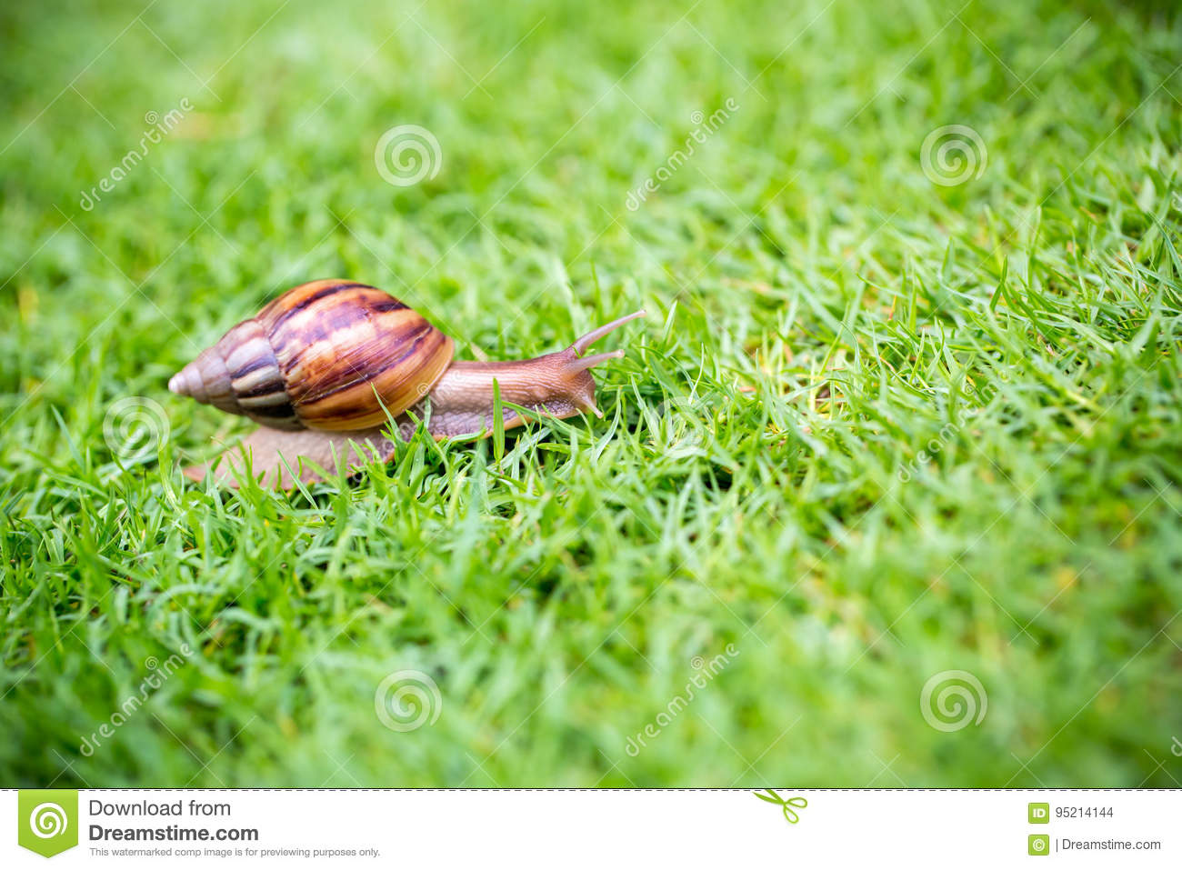 Download A Snail With Its Shell House Moving Slowly On Green Grass. Stock Photo - Image of closeup, moving: 95214144