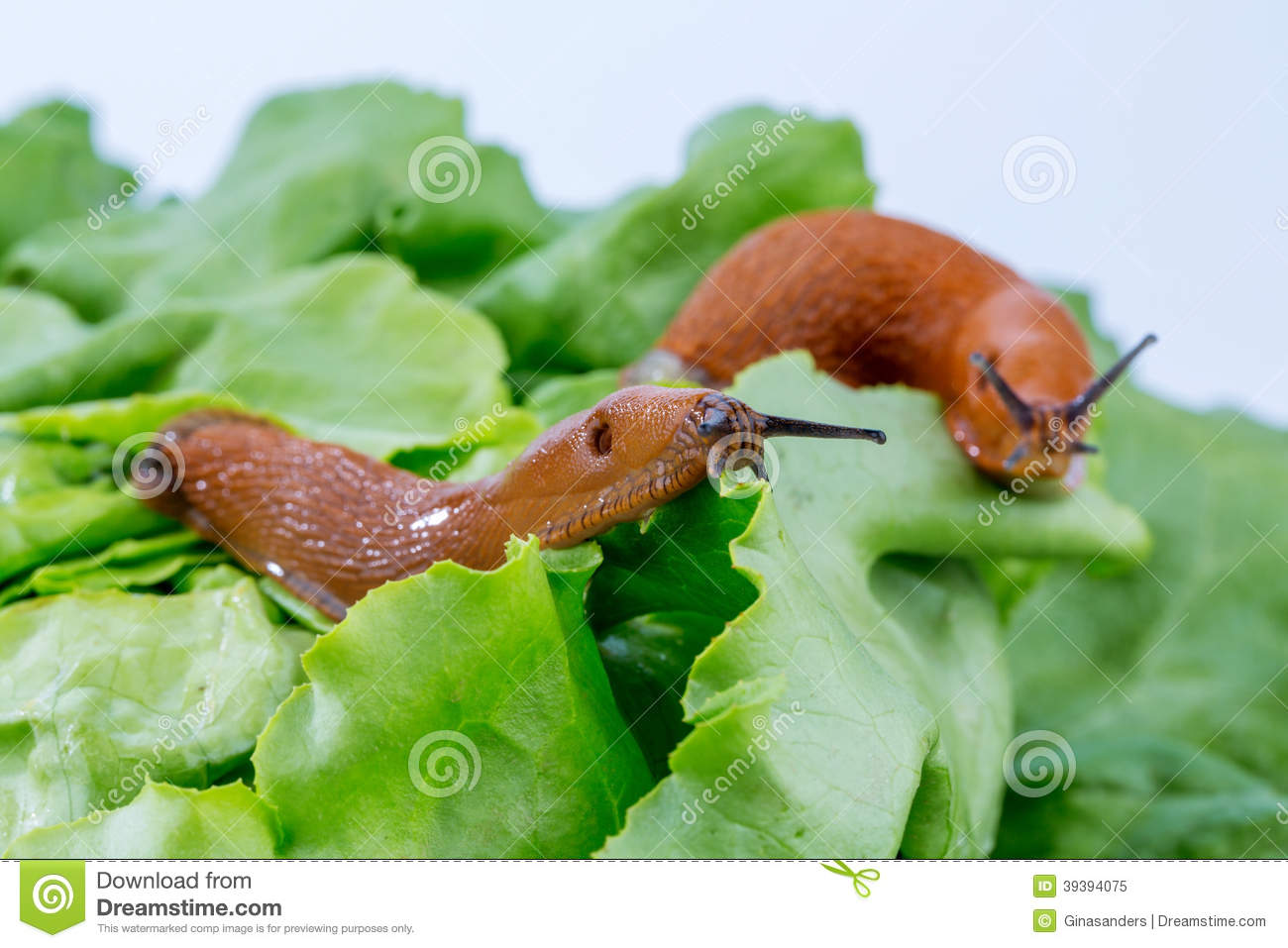 Snail plage royalty free stock image for Caracol de jardin que come