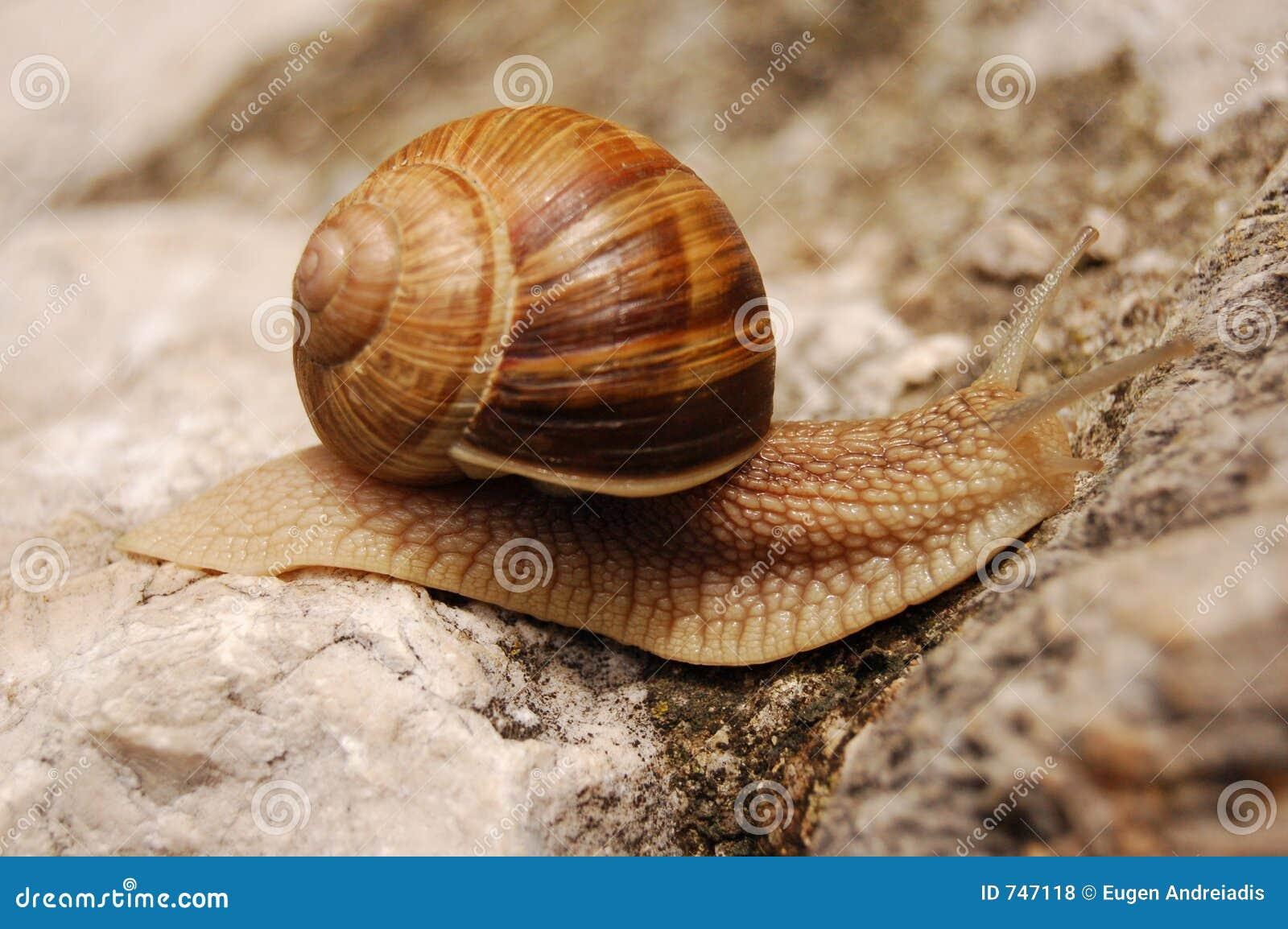 Snail moving on a rock