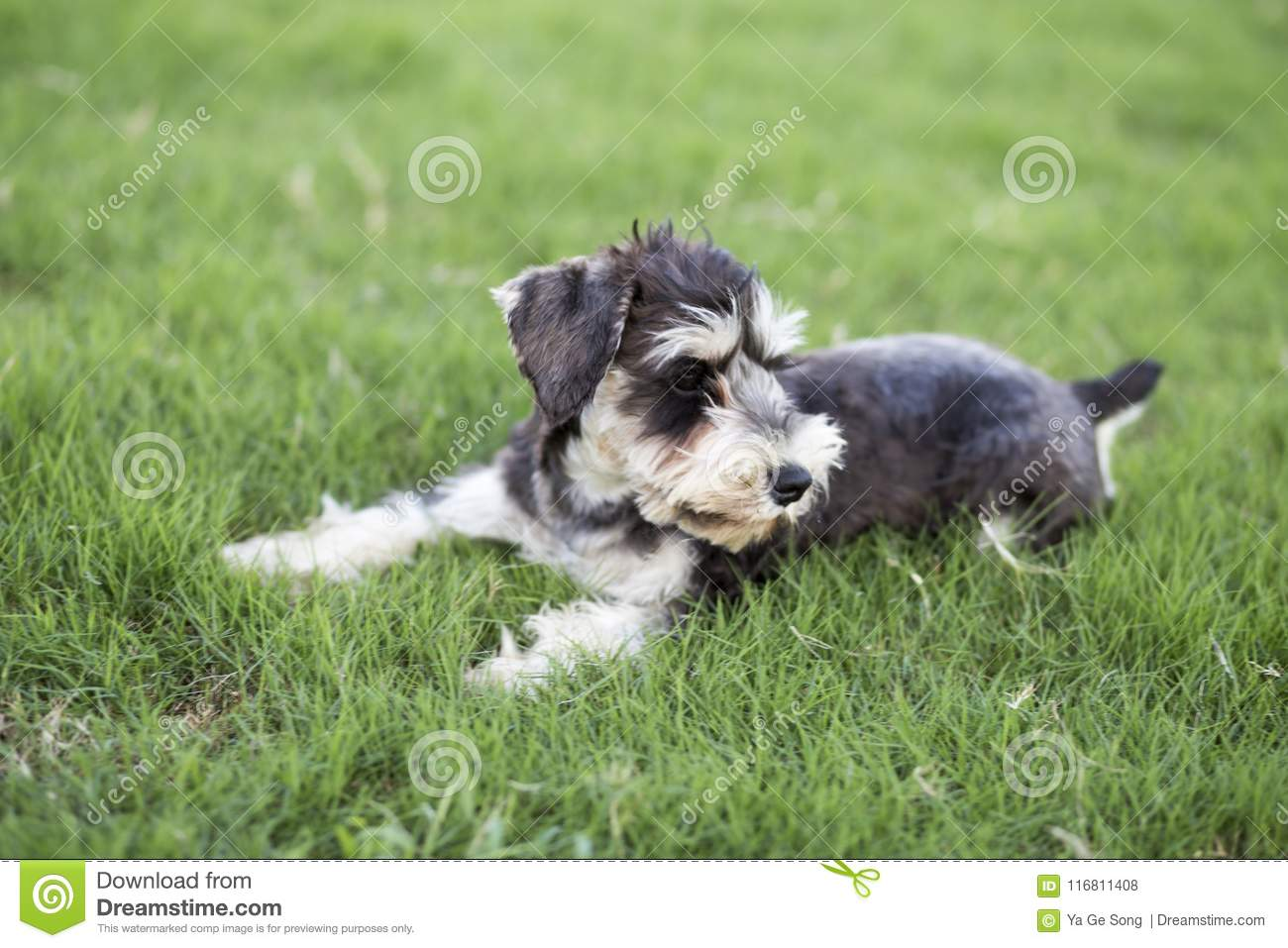 Schnauzer Stock Photo Image Of Haired Dogs Lovely 116811408