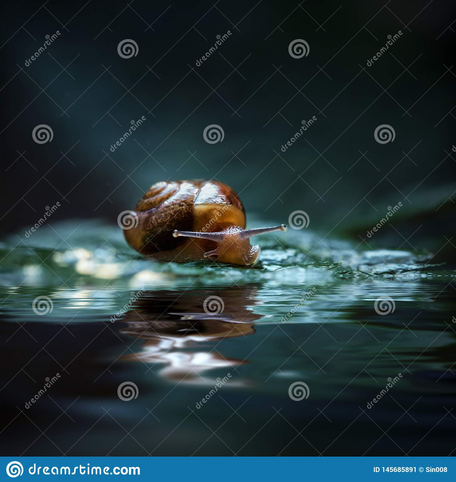 Snail sitting on a green leaf. Macro. Close - up on a dark blue background. Reflected in water. Snail by the water on the pond.