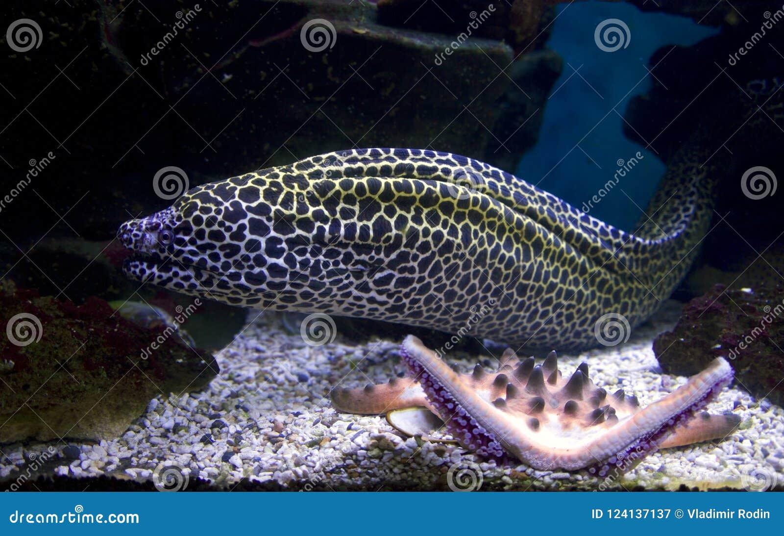 Snake ячеистая сеть, угроза коралловых рифов хищника рыб тропическая агрессивная зубастая