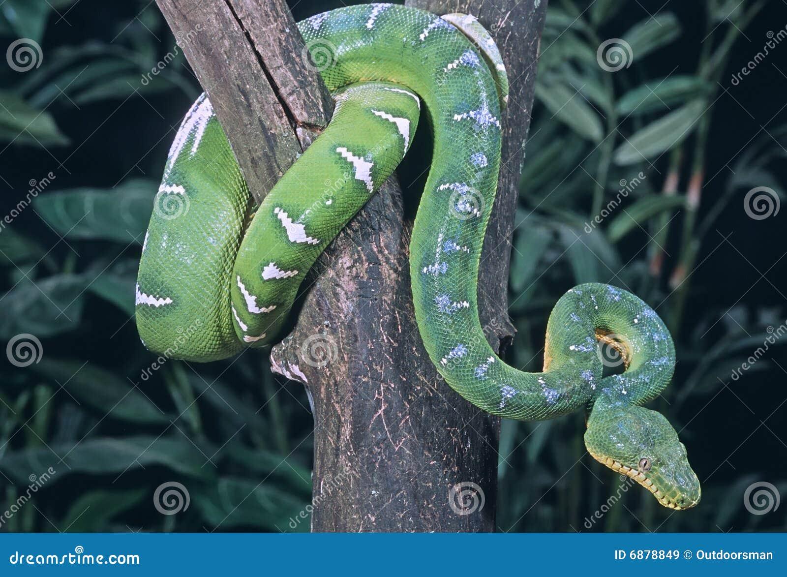 Image Result For Emerald Tree Boa