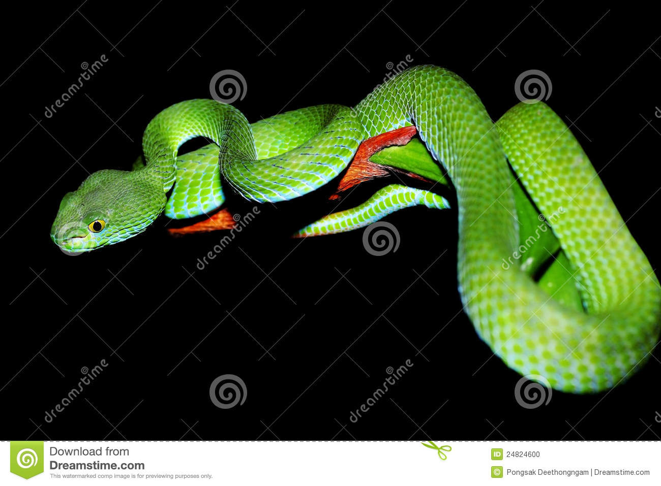 Snake Island Worlds Deadliest Island also Adders 2 in addition Black Adder purzuit also Viper Snake Venom together with Taipan Fangs. on viper fangs