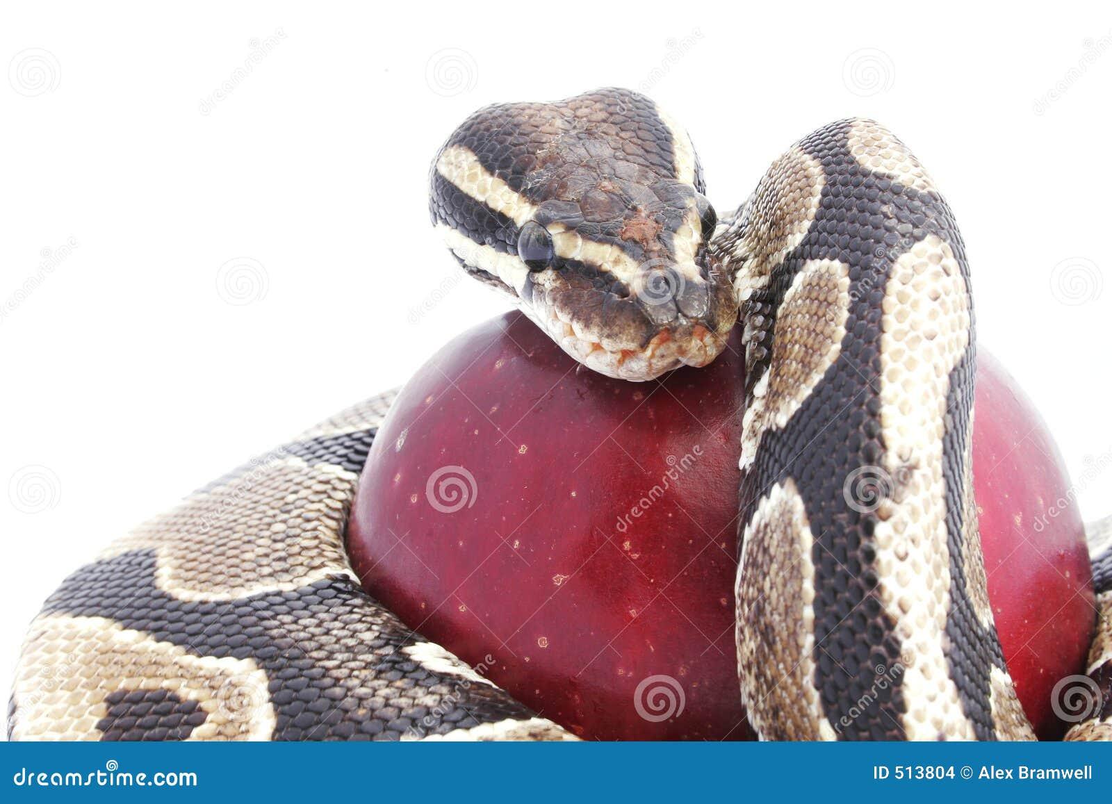 Snake jabłkowego