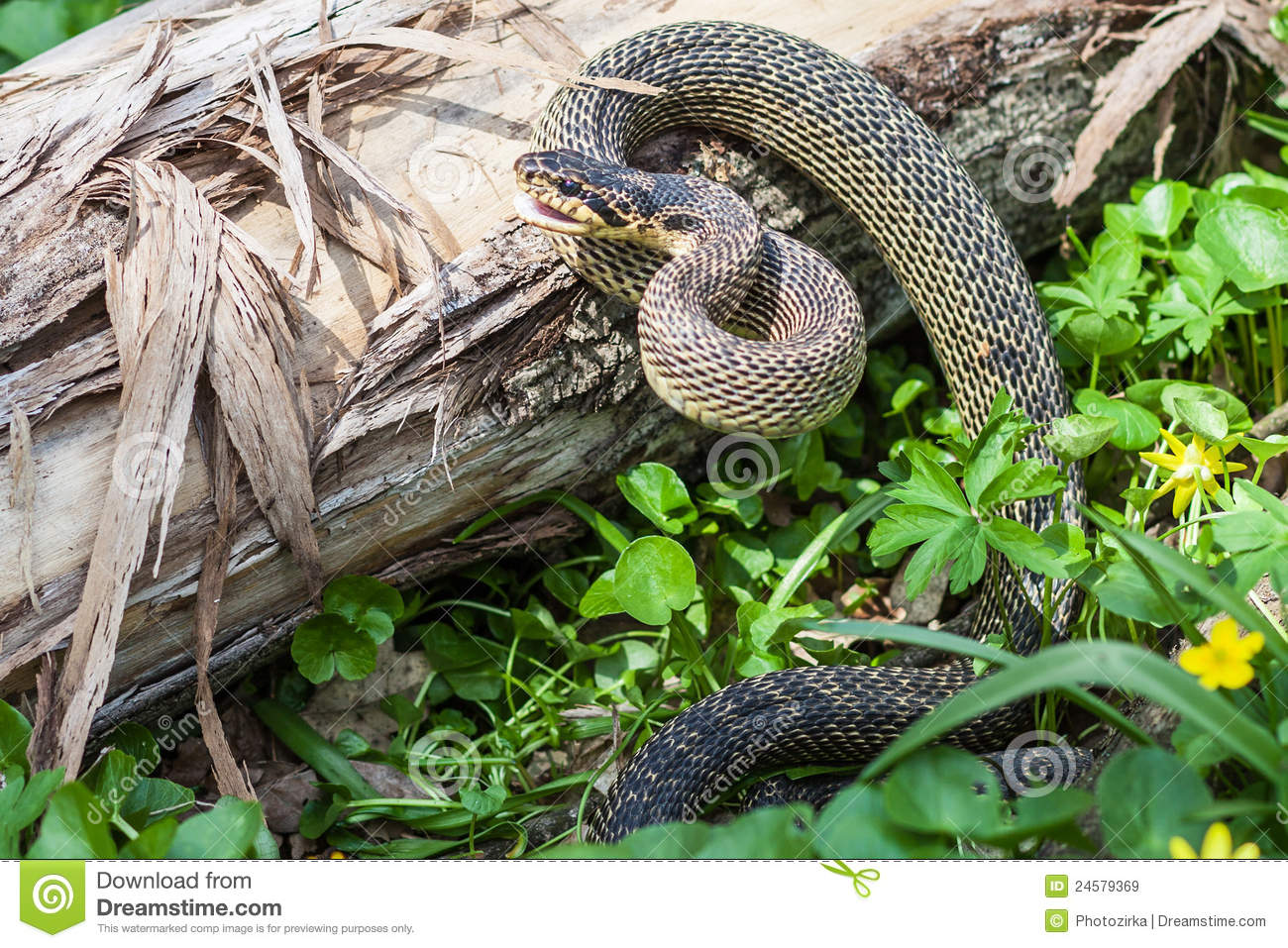 Snake In Natural Habitat Royalty Free Stock Images - Image: 24579369