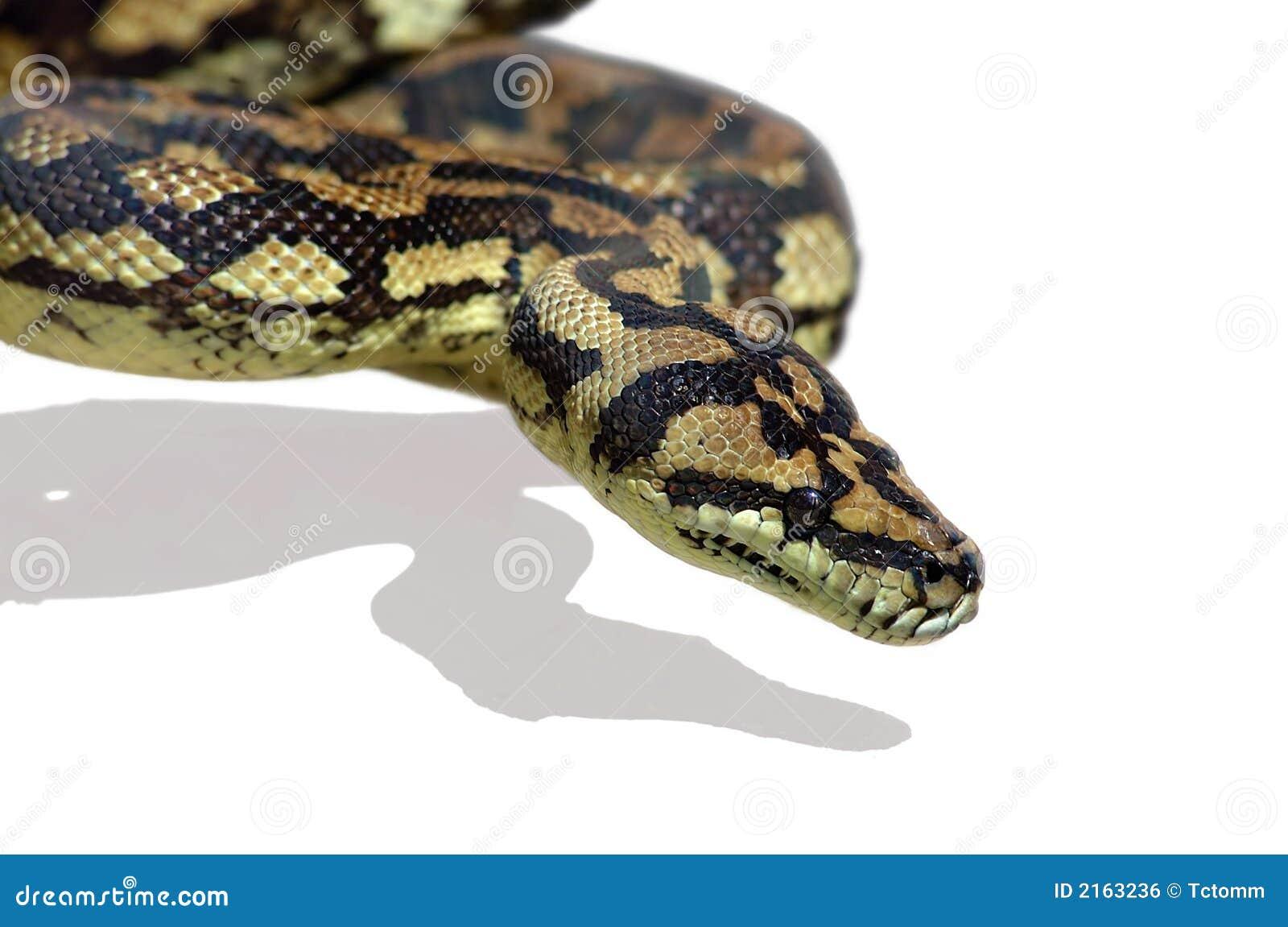 Snake Python Royalty Free Stock Image - Image: 2163236
