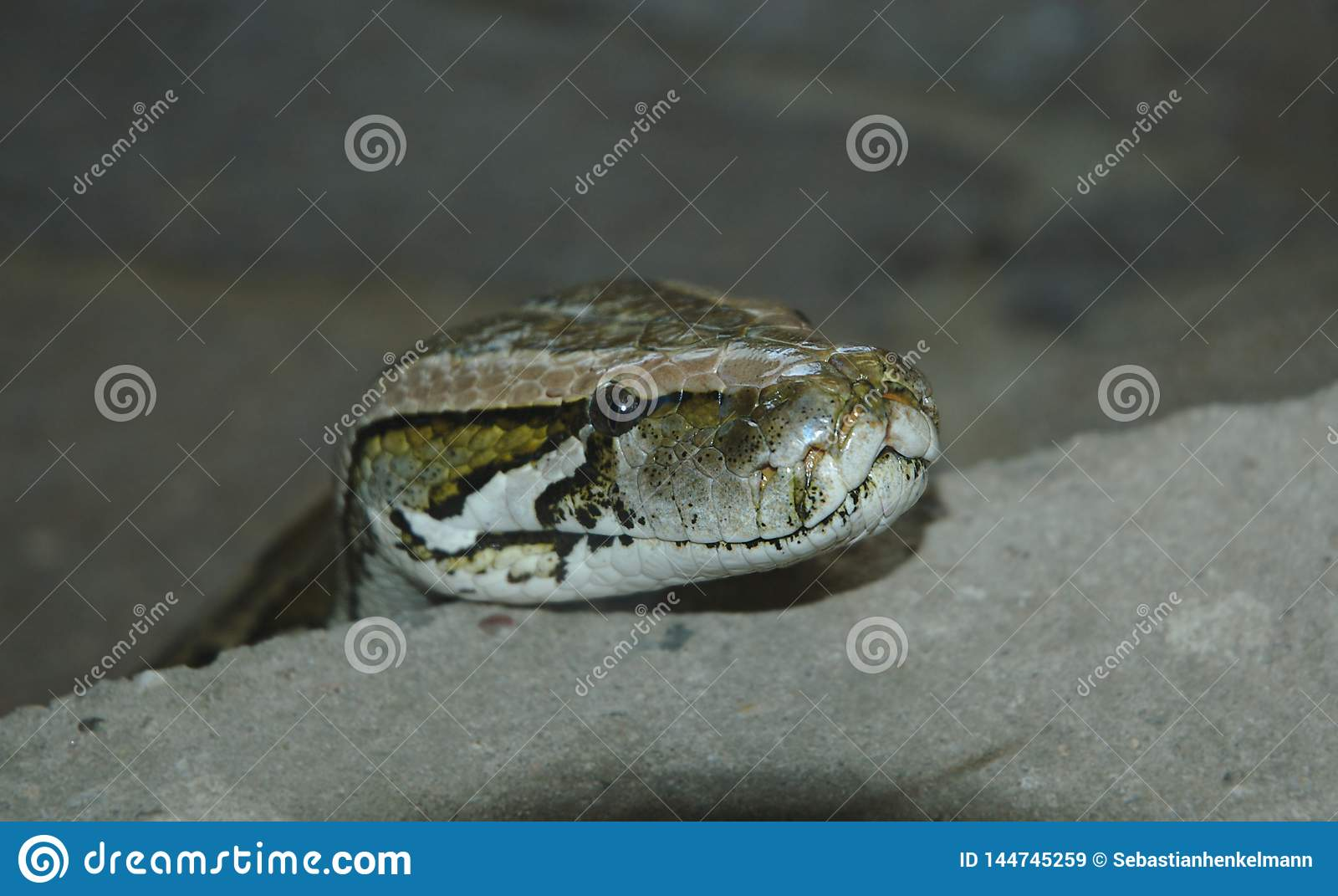 Snake presenting it`s head