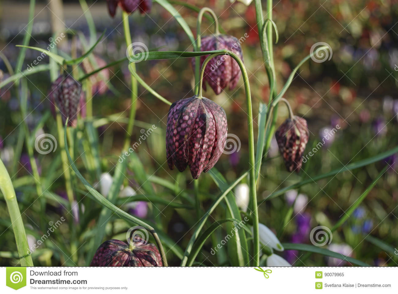 Snake`s head Fritillaria meleagris chequered flowers.