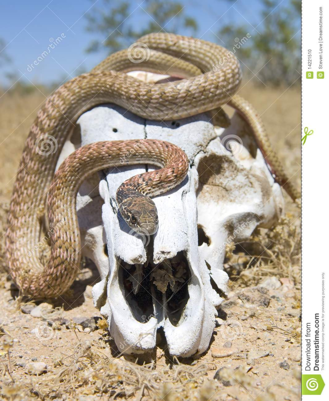 snake on a skull  front view  stock photo