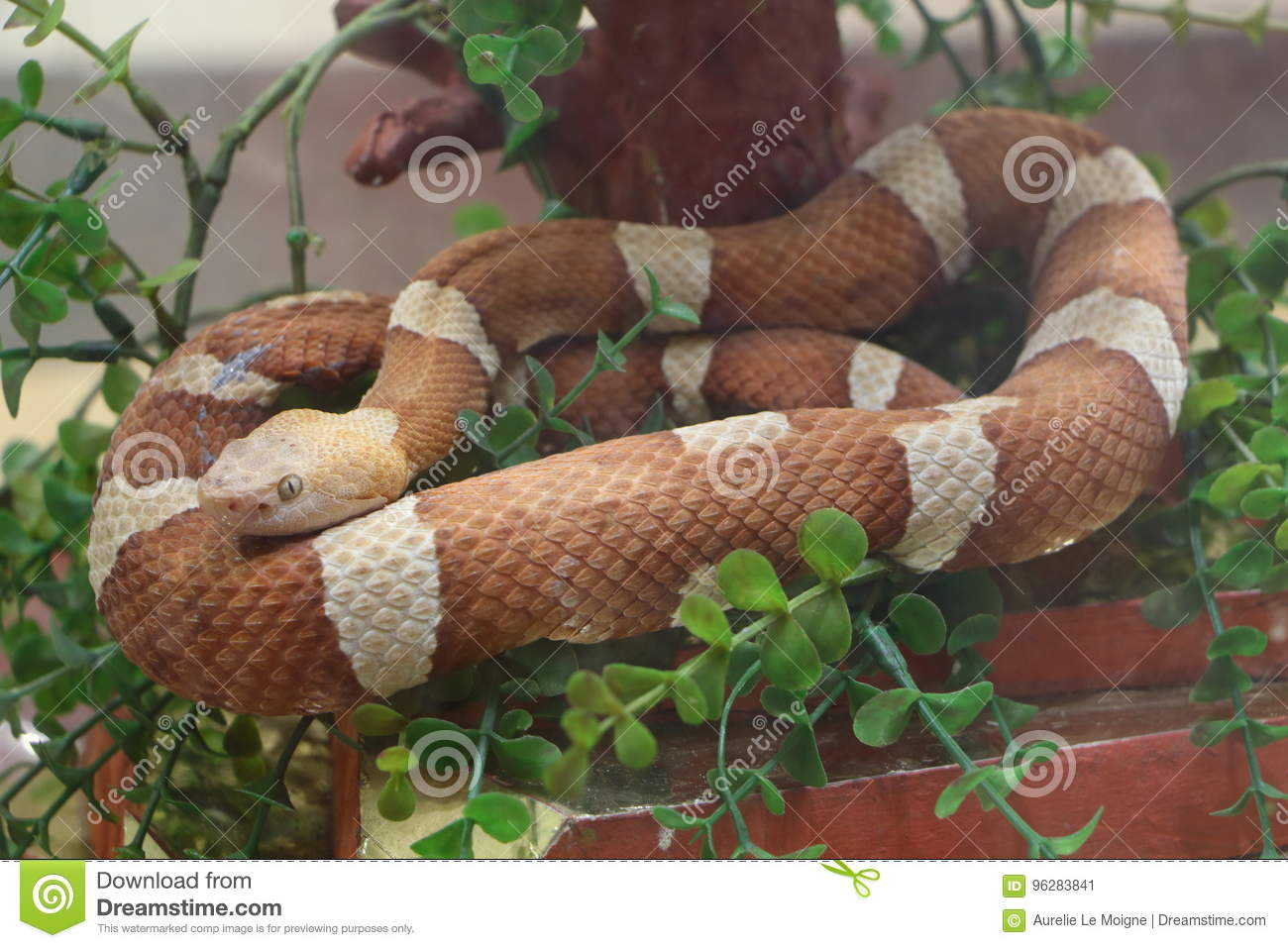Snake In A Terrarium Stock Image Image Of Fear Captivity 96283841