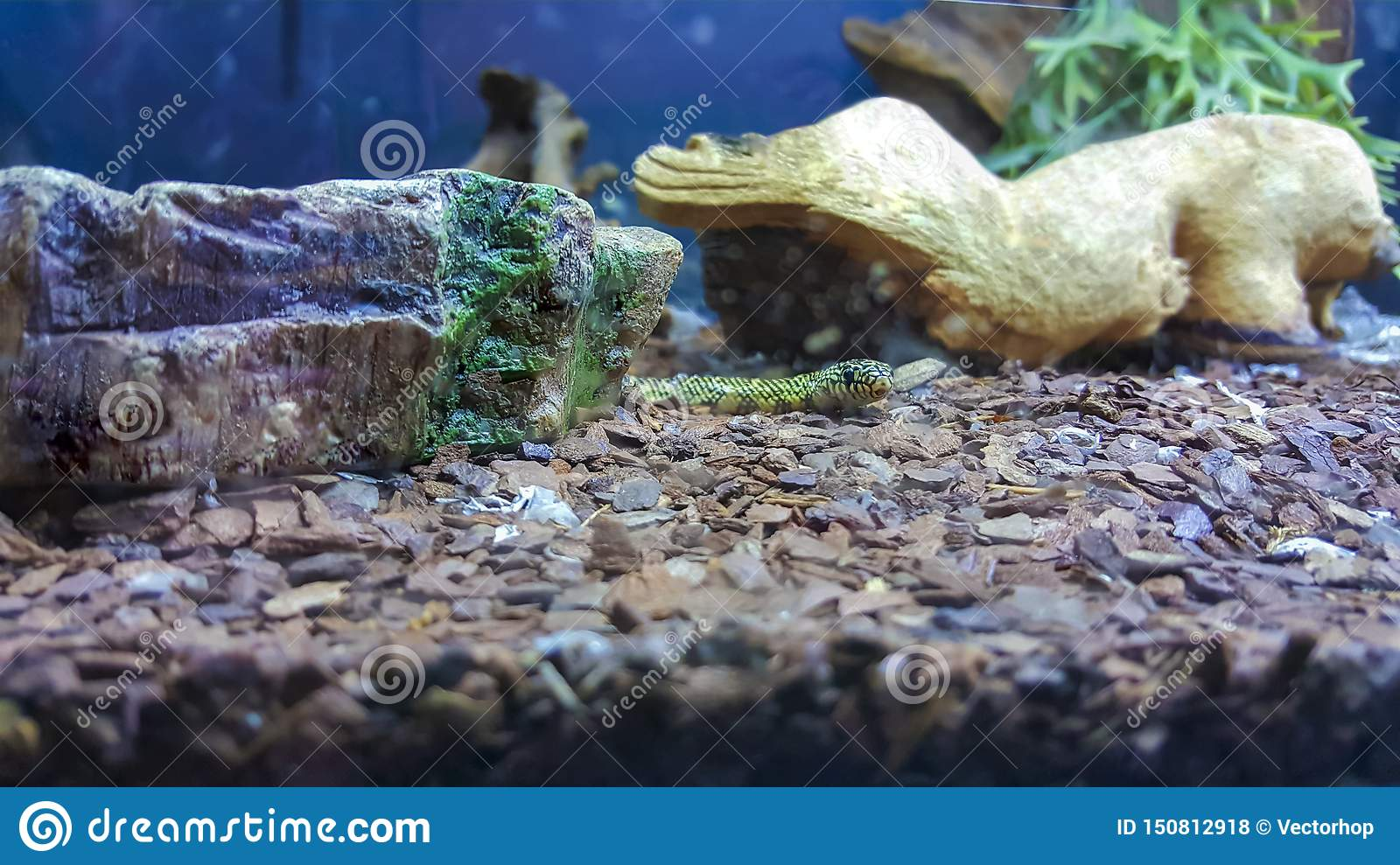 Snake In Terrarium Stock Photo Image Of Large Beauty 150812918