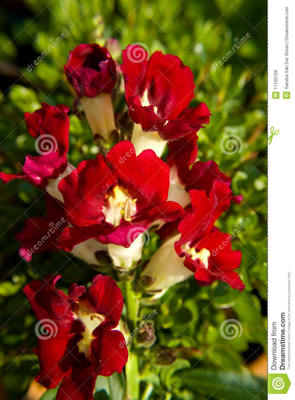 Snapdragon flower stock photo. Image of closeup, blossom - 11100756