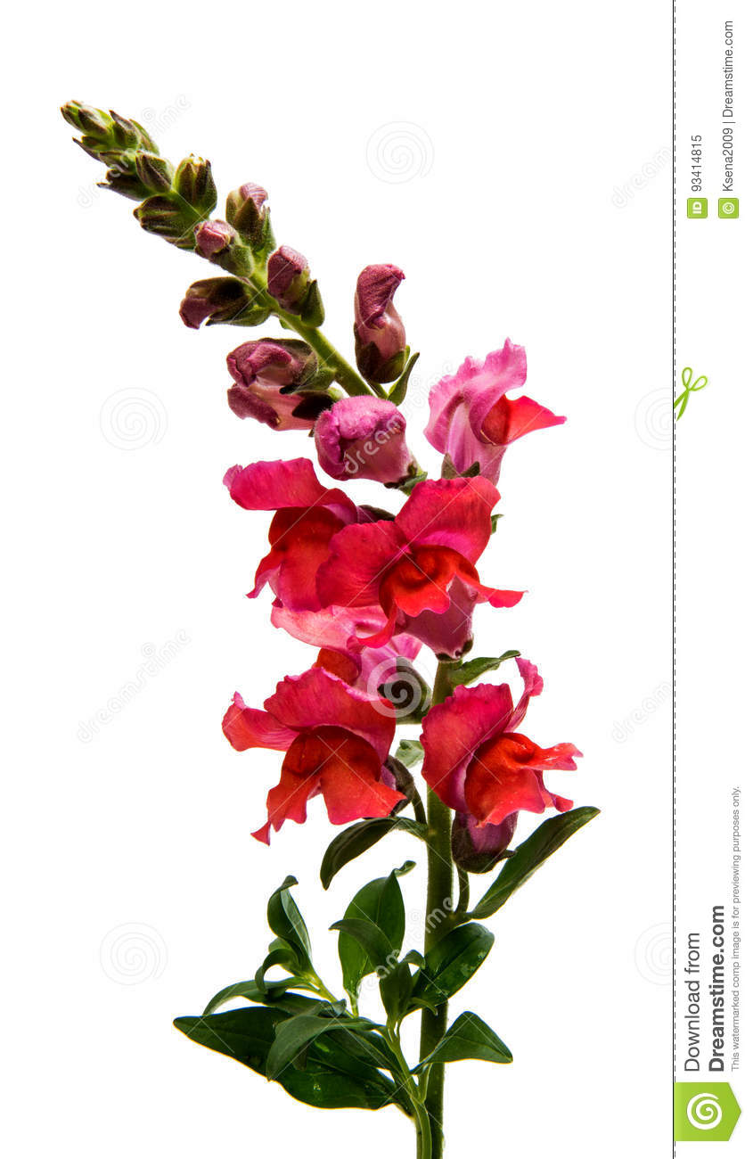Snapdragon flower isolated stock image. Image of bloom - 93414815