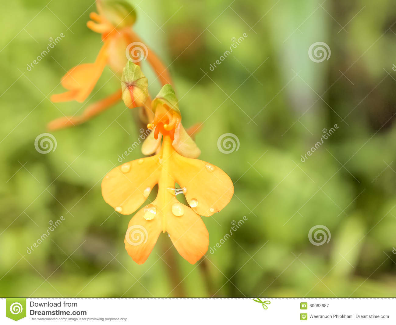Snapdragon Flowers Stock Image Image Of Tropical Snapdragon 60063687