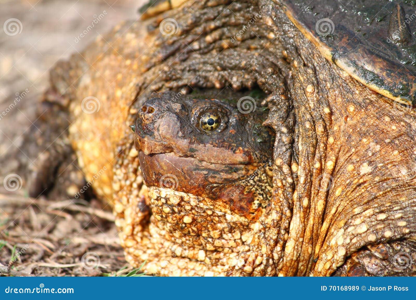 Snapping Turtle Illinois Wildlife Stock Image - Image of chelydra