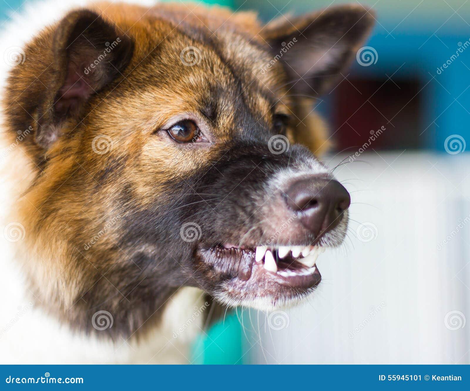 Snarling Dog Face Threats Stock Photo