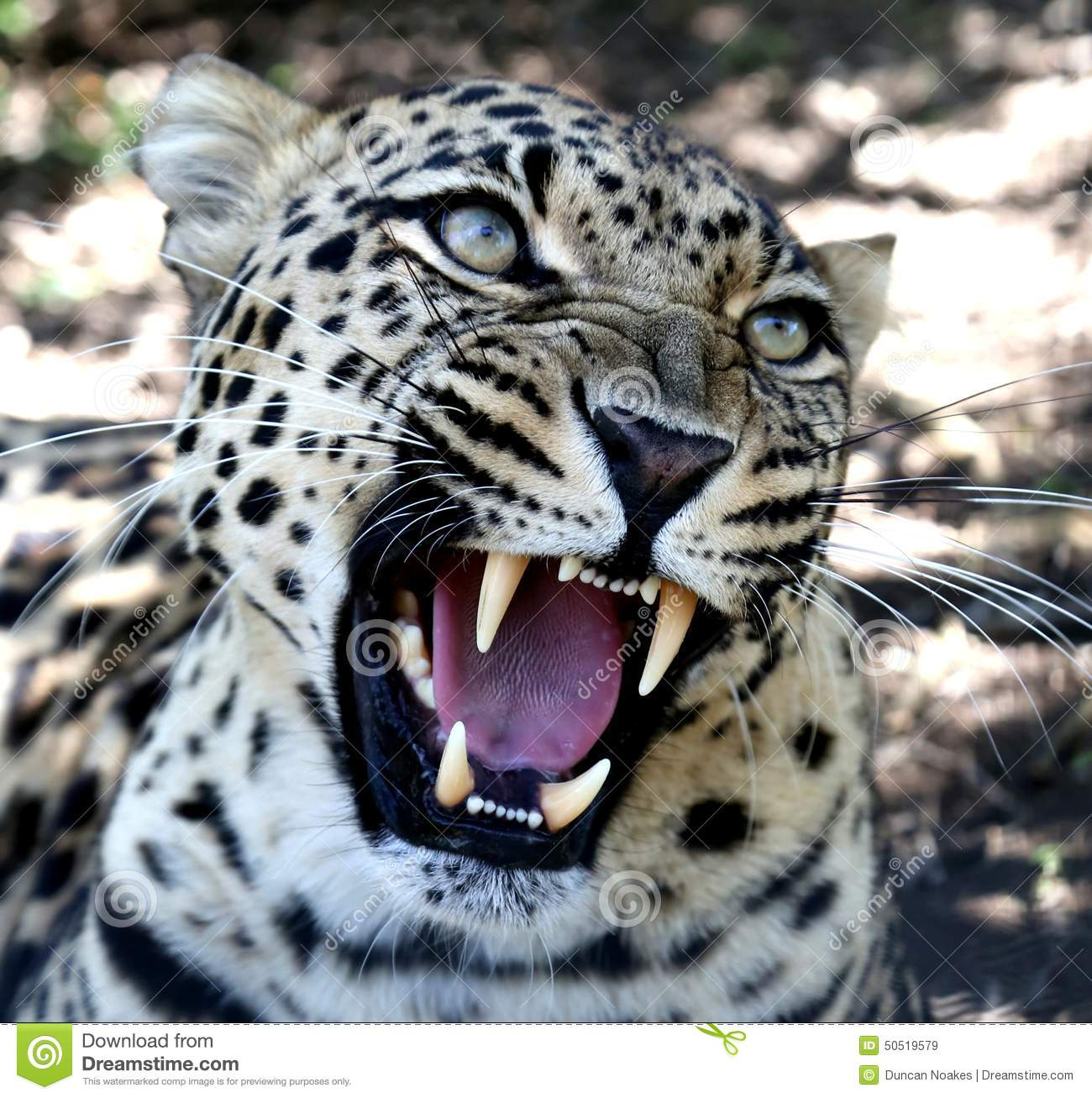 Jaguar Hissing: Snarling Leopard With Huge Teeth Stock Photo