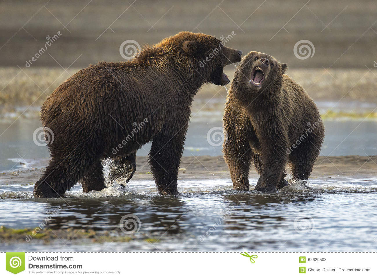 Snarling Stock Photo Image 62620503